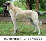 Anatolian Shepherd Dogs In...