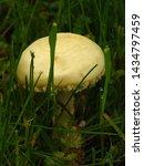 Fungi Called Field Mushroom ...