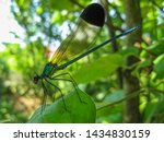 Stock photo a colorful dragonfly on plant closeup of a dragonfly odonata sitting on a leaf dragonfly blue 1434830159