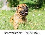 Bullmastiff Dog Lying On The...