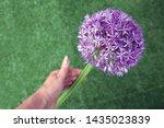 Allium Flower   Hand Holding...