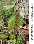 Small photo of Vertical profile of Goldenseal (Hydrastis canadensis) showing entire plant, flower, leaves and stem