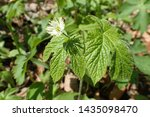 Small photo of Closeup of wild Goldenseal (Hydrastis canadensis) flower with shadow on leaf