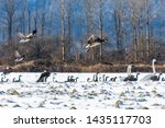 Flying  Beautiful Canada Geese...