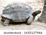Stock photo sulcata tortoise african spurred tortoise in farm 1435127966