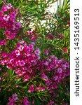 Oleander Flowers Bush Bloom...