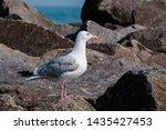Stock photo adult herring gull larus argentatus in park germany 1435427453