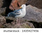 Stock photo adult herring gull larus argentatus in park germany 1435427456