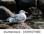 Stock photo adult herring gull larus argentatus in park germany 1435427480