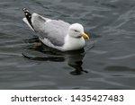 Stock photo adult herring gull larus argentatus in park germany 1435427483