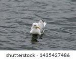 Stock photo adult herring gull larus argentatus in park germany 1435427486