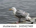 Stock photo adult herring gull larus argentatus in park germany 1435427489