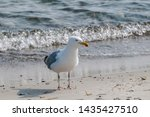 Stock photo adult herring gull larus argentatus in park germany 1435427510