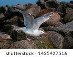 Stock photo adult herring gull larus argentatus in park germany 1435427516