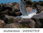 Stock photo adult herring gull larus argentatus in park germany 1435427519