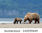 Mother Grizzly Bear With Cub...