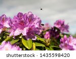 Rhododendron Pink Flowers...