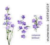 blue bellflowers campanula...   Shutterstock . vector #1435916519