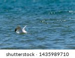 Stock photo herring gull larus argentatus feeding on a dead fish believed to be a common carp cyprinus 1435989710
