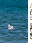 Stock photo herring gull larus argentatus feeding on a dead fish believed to be a common carp cyprinus 1435989713
