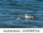 Stock photo herring gull larus argentatus feeding on a dead fish believed to be a common carp cyprinus 1435989716