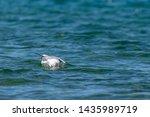 Stock photo herring gull larus argentatus feeding on a dead fish believed to be a common carp cyprinus 1435989719