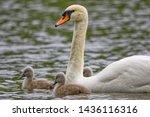 Mute Swan Adult   Cygnets ...