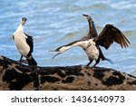 Small photo of Altercation between 2 Black-faced Cormorants on a rock next to the sea in Tasmania. The aggressor with wings up and beak open