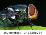 Macro photography of blowfly on ...