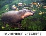 Pygmy Hippopotamus In The Zoo.