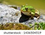 Lake Or Pool Frog  Pelophylax...