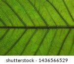 green leaf texture  background... | Shutterstock . vector #1436566529
