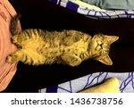 Stock photo funny brown tabby kitten is sleeping at the knees of a hostess 1436738756