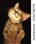 Stock photo funny brown tabby kitten is sleeping at the knees of a hostess 1436738759