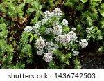 Sweet Alyssum Or Lobularia...