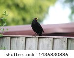 Male Blackbird Female Blackbir...