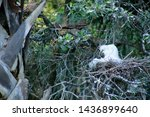 Two Baby Snowy Egrets Nesting...