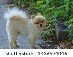 Beautiful Pomeranian Dog   Is A ...