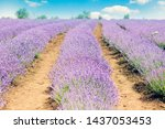 lavender fields. picturesque... | Shutterstock . vector #1437053453