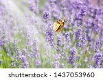 lavender bushes with butterfly. ... | Shutterstock . vector #1437053960