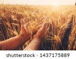 Wheat Field. Hands Holding Ear...