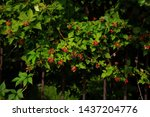 Green Bush With Berries Red.