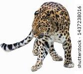 Far Eastern Leopard On White...