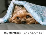 Dog Yorkshire Terrier Under A...