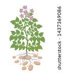 Potatoes Plant. Spud Plants....