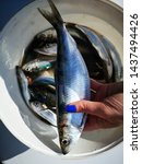 Stock photo baltic herring caught freshly picked in a bucket marinated for further preparation bluish green 1437494426