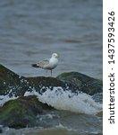 Stock photo european herring gull north sea england uk europe 1437593426