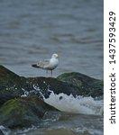 Stock photo european herring gull north sea england uk europe 1437593429