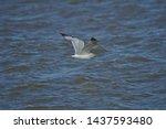 Stock photo european herring gull north sea england uk europe 1437593480