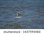 Stock photo european herring gull north sea england uk europe 1437593483